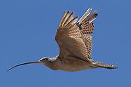 North America shorebird photos