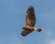 Harris's hawk flies close over head, showing its distinctive wide wings, blue sky background. Adult body and wing plumage with tail still showing bars indicates this bird is in its second year. © 2012 David A. Ponton
