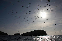 Gannet (Morus bassanus) Colony, The Flannans, Outer Hebrides, Scotland