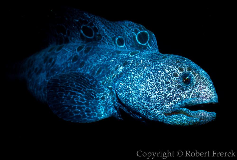 UNDERWATER MARINE LIFE EAST PACIFIC: Northeast FISH: Wolf eel Annarrichthys ocellatus
