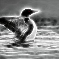 Digital Manipulation of common loon photographed at water level drying wings on Lake Nettie in northern Michigan.