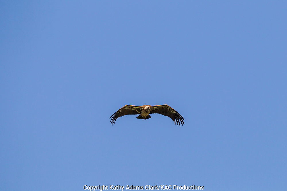 Ruppell's vulture, or Ruppell's griffon vulture, Gyps rueppellii, soaring overhead, Serengeti, Tanzania, Africa
