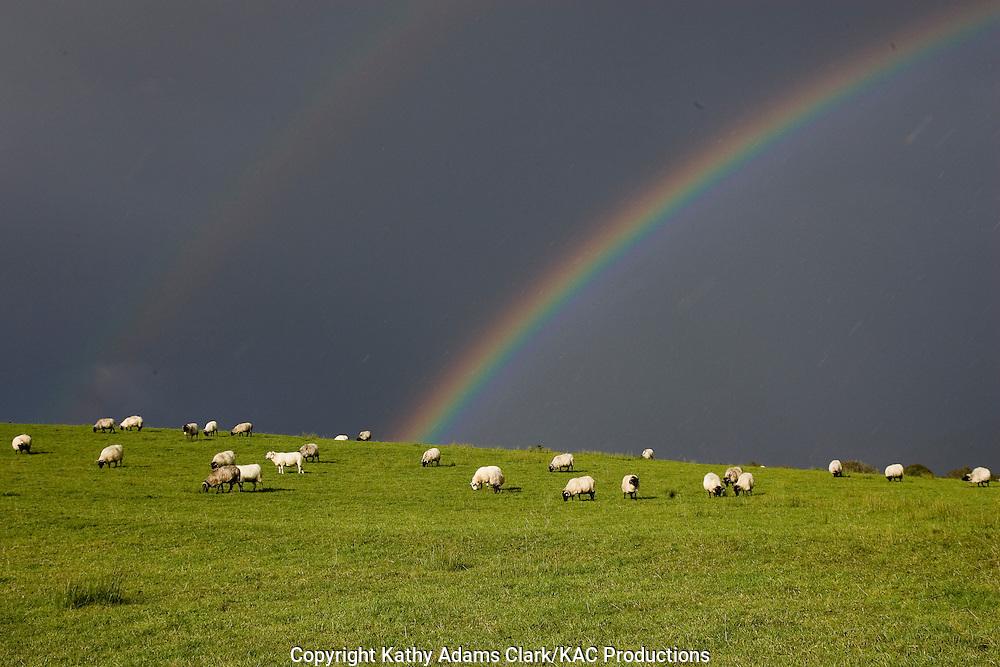 Black-faced mountain sheep, with a double rainbow overhead, County Mayo, Ireland.
