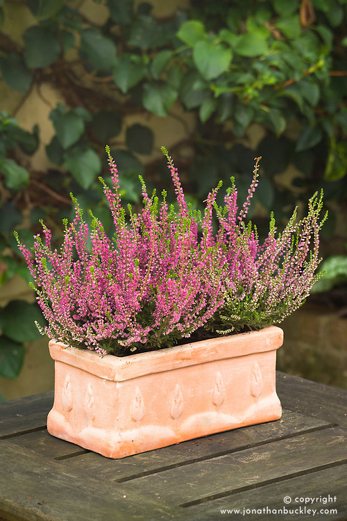 Winter flowering heather in a rectangular terracotta container