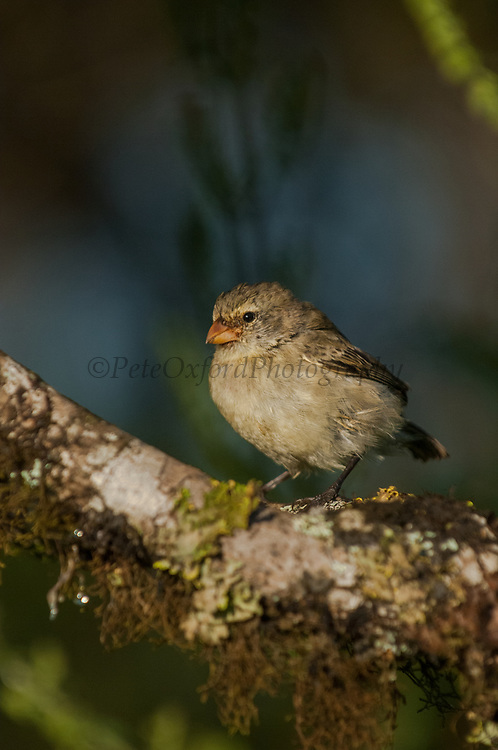 Small Tree Finch (Camarhynchus parvulus)<br /> Highlands of Santa Cruz Island, GALAPAGOS ISLANDS<br /> ECUADOR.  South America<br /> Smallest of the tree finches. Found mainly in the humid and transitional zones.
