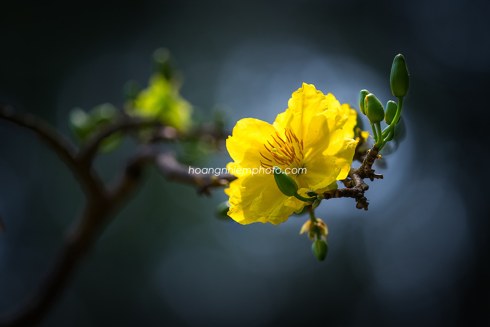 Vietnam Images-hoa mai-flower -Hoàng thế Nhiệm