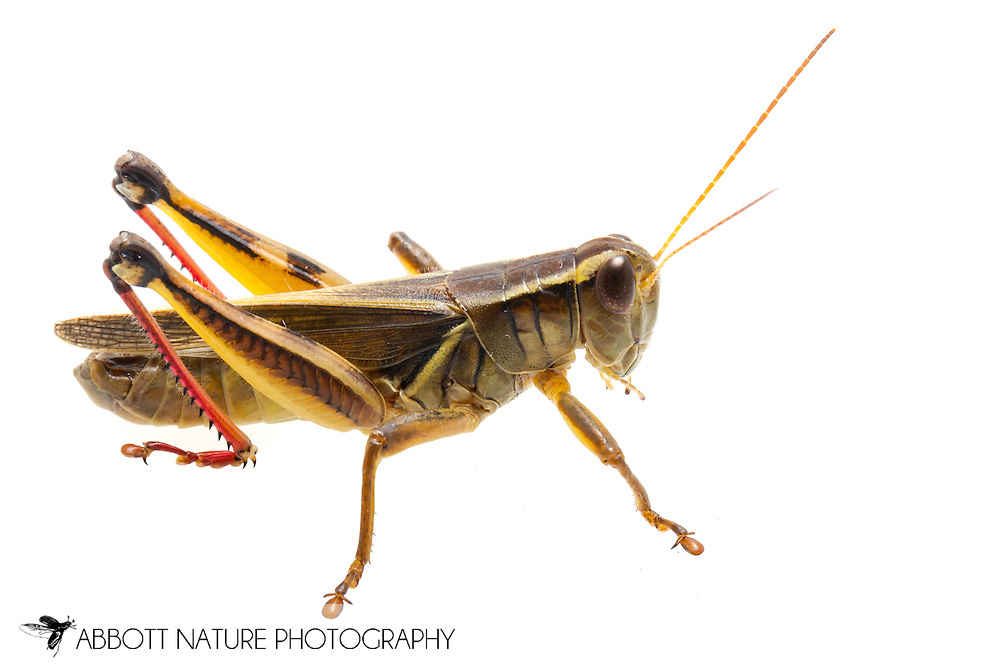 Two-Striped Grasshopper (Melanoplus bivittatus)<br /> VIRGINIA: Rockbridge Co.<br /> Cold Sulphur Springs Lake off Sand Bank View Rd.<br /> 30-June-2015<br /> J.C. Abbott #2760 &amp; K.K. Abbott