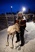 Herder grabs a passing reindeer at reindeer roundup at Vuomaselkä, Lapland, where semi-domesticated deer are sorted and seperated for breeding, slaughter, returned to their owners, injected for parasites, or released back into the forest.
