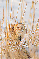 Barn owl with a vole it has captured, © 2013 David A. Ponton