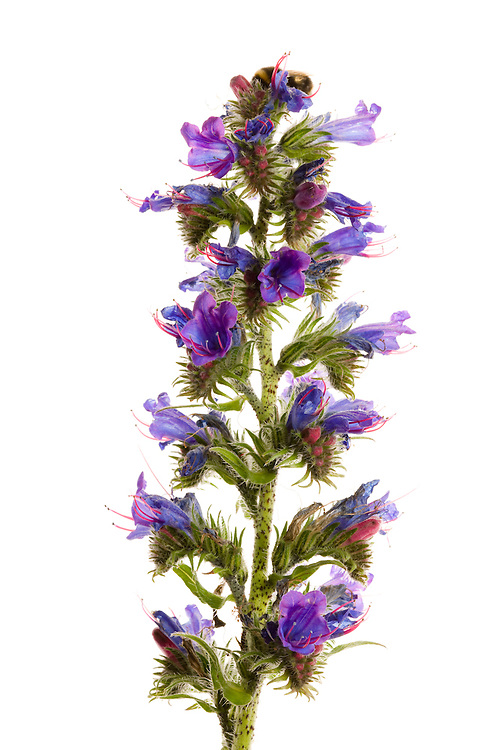 Viper's bugloss in flower