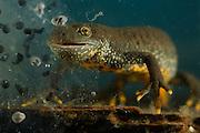 Great Crested Newt or Northern Crested Newt, female (Triturus cristatus) eating frogspawn. Lake Selent (Selenter See), Germany | Das mit 14 cm Körperlänge etwas kleinere Kammmolch-Weibchen (Triturus cristatus) stärkt sich während der Fortpflanzungszeit an einem Ballen Froschlaich, den es in seinem sonnigen Laichgewässer entdeckt hat.