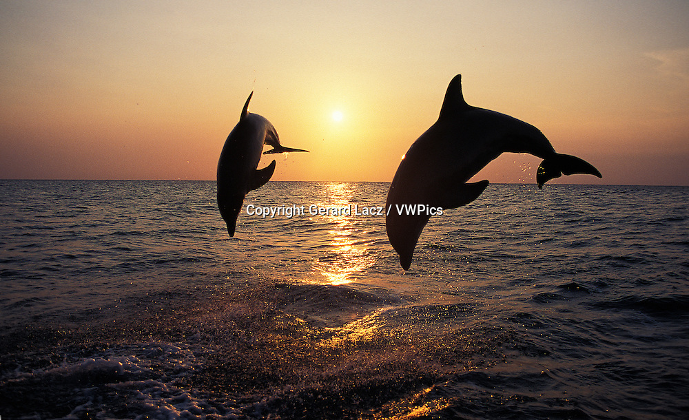 Bottlenose Dolphin, tursiops truncatus, Adults Leaping at Sunset, Honduras