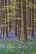 Europe, European, Belgium, Halle, Hallerbos Forest