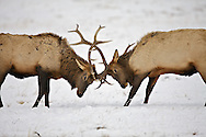 Sparring bull elk, National Elk Refuge, Jackson Hole, Wyoming