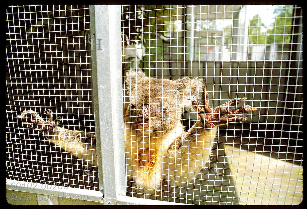 Koala grips wire mesh as it looks into bright sun from cage at Univrsty of Queensland; Brisbane Australia