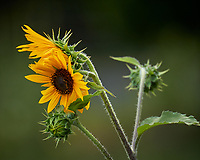 Sunflower. Image taken with a Leica CL camera and 90-280 mm lens.