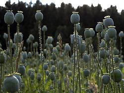CZECH REPUBLIC VYSOCINA NEDVEZI 16JUL11 - Poppy field near the village of Siroky Dul.....jre/Photo by Jiri Rezac....© Jiri Rezac 2011