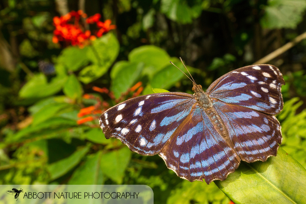 Mexican bluewing or blue wing (Myscelia ethusa)<br /> Belize: Cayo District<br /> Green Hills Butterfly Ranch<br /> 10-Aug-2015<br /> J.C. Abbott