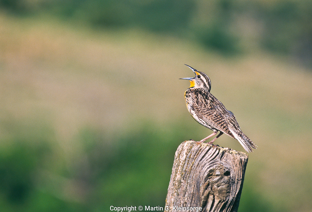 "A singing Western Meadowlark (Sturnella neglecta)  A 9"" bird.  Brownish above and yellow below with a black V on the breast.  Prefers meadows and grasslands.  South Dakota, USA."