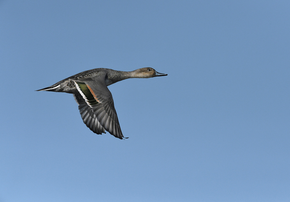 Pintail - Anas acuta<br /> female