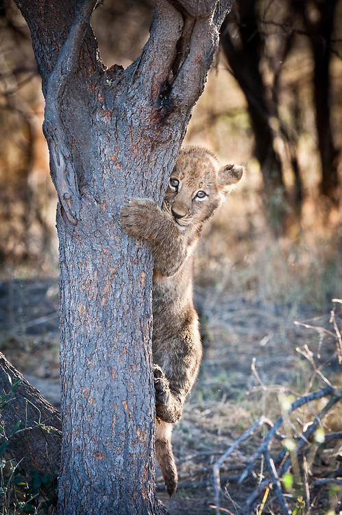 Lion cub climbing a tree, Mombo camp, Okavango Delta, Botswana / Cachorro de león, campo Mombo, Delta del Okavango, Botswana