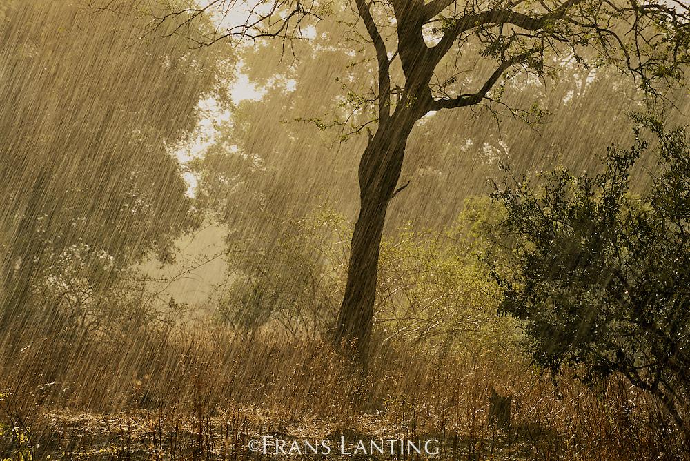 First rain of the season, Luangwa Valley, Zambia
