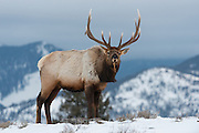 Bull Elk (Cervus elaphus), Yellowstone National Park, Wyoming