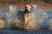 Camargue Horses and Southern France