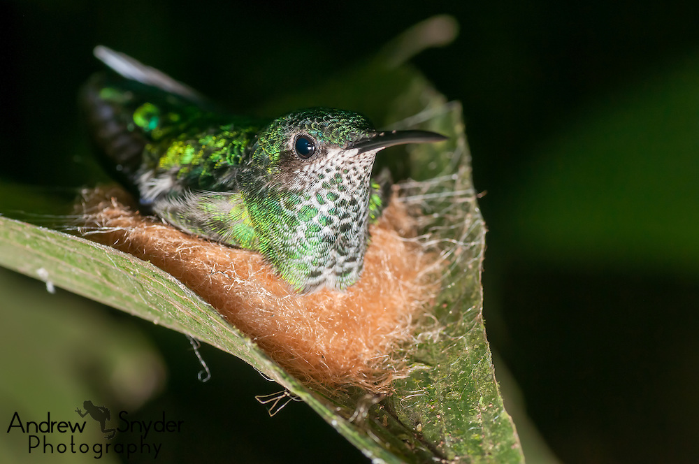 A glittering-throated emerald hummingbird (Amazilia fimbriata) sitting atop her nest - Iwokrama, Guyana