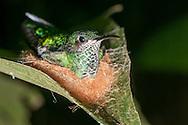 A glittering-throated emerald hummingbird (Amazilia fimbriata) sitting atop her nest - Iwokrama, Guyana