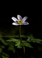 Wood Anemone in Spring sunshine, Wales