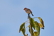 House Finch (Carpodacus mexicanus), San Juan Cosala, Jalisco, Mexico