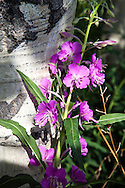 Fireweed, aspen, wildflowers of Grand Teton National Park