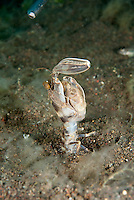 "A ""Spearing"" Mantis Shrimp investigates a diver's ""tickle stick"".  The movement of this animal's claws are thought to be one of the fastest movements in the animal kingdom, and are capable of inflicting significant damage to its target, including fingers."