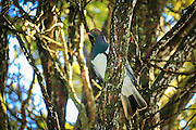 A beautiful New Zealand Wood Pigeon rests in the forest canopy in Southland.