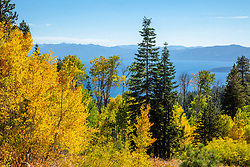 """Aspens Above Lake Tahoe 9"" - Photograph of yellow aspen trees in the Fall at a grove above Lake Tahoe."