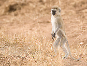 Vervet monkey standing, Serengeti National Park.