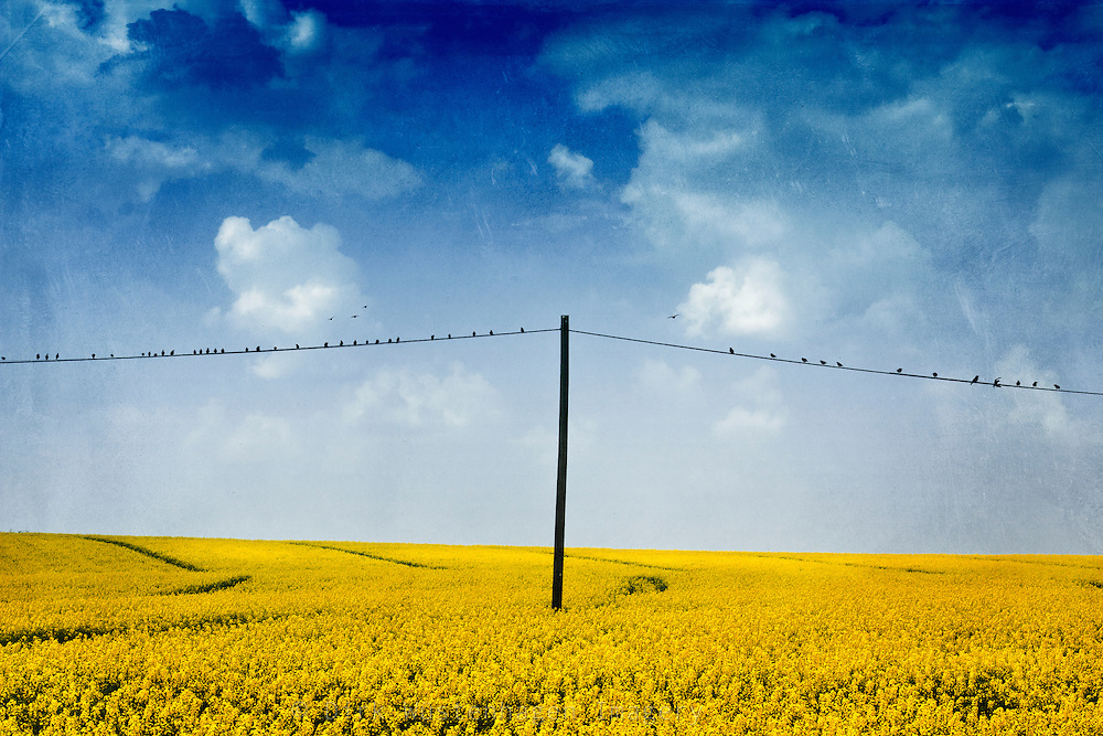 Canola field in bloom with a power line full of birds running through it. Texturized photograph