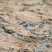 The lesser sand plover (Charadrius mongolus) is a small wader in the plover family of birds.