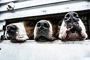 Foxhounds of the Jedforest hunt in Scotland poke their noses out of a trailer on the morning of a hunting day.