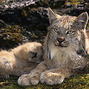 Canada Lynx (Lynx canadensis) portrait of an adult with young in the Rocky Mountains of Montana during the wintertime.  Captive Animal.