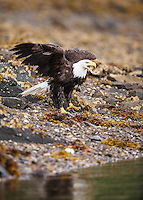 A bald eagle, Haliaeetus leucocephalus, on the shore in Geographic Harbor, Katmai National Park, Alaska.