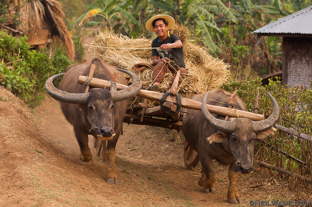 A Burmese farmer drives hay  with a water buffalo oxen cart.