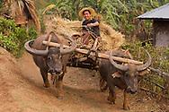 A Burmese farmer drives hay  with a water buffalo oxen cart.
