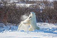 01874-13514 Polar Bears (Ursus maritimus) sparring, Churchill Wildlife Management Area, Churchill, MB