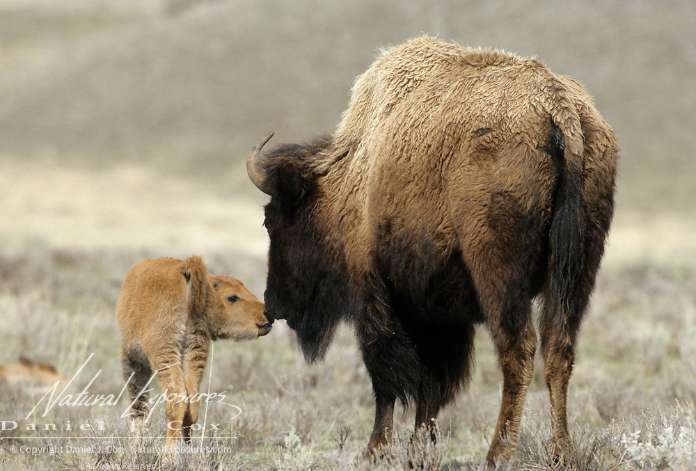 Bison (Bison bison) cow and calf on grasslands in Montana.