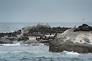Cape fur seal colony (Arctocephalus pusillus)<br /> Duiker Island non breeding mostly young males<br /> Western Cape<br /> SOUTH AFRICA<br /> RANGE: Southern and southwestern coast of Africa from Cape Cross in Namibia to Cape of Good Hope to Black Rocks near Port Elizabeth.