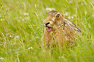 European Hare (Lepus europaeus) adult yawning in grass meadow, South Norfolk, UK. June