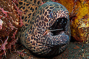 Honeycomb Moray (Gymnothorax favagineus) being cleaned by a White Striped Cleaner Shrimp (Lysmata amboinensis) in Tulamben, Bali, Indonesia.