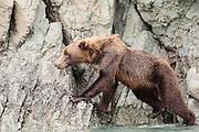USA, Katmai National Park (AK).Brown bear (Ursus arctos) negotiating rocky cliff